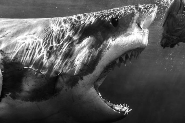 Happy Shark Week! Here's The Most Terrifying Photograph of a Great White We've Ever Seen