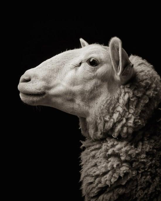 goat13
