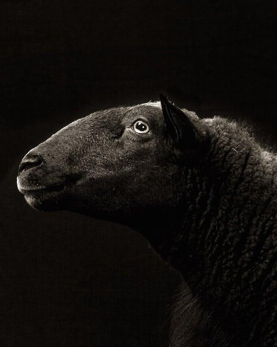 goat14