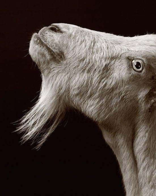 goat15