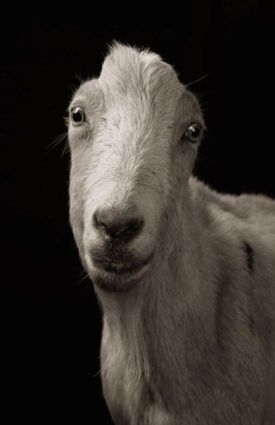 goat16