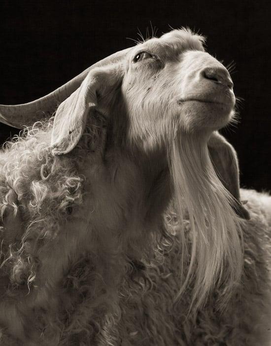 goat17