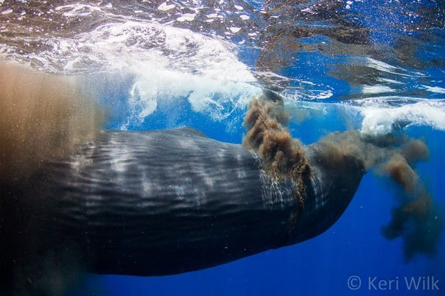Underwater Photographer Finds Himself Engulfed by a Sperm Whale 'Poopsplosion'