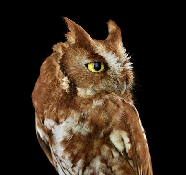 Studio Portraits of Owls That Capture Their Nobility and Personalities