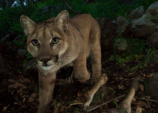 Trail Camera Snaps Up-Close Photos of a Mountain Lion Family at Mealtime