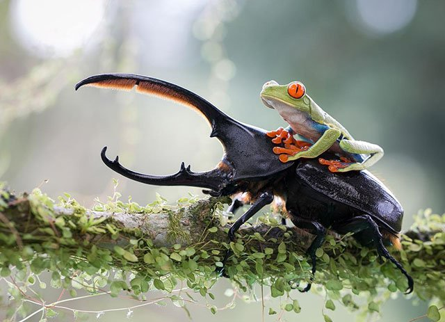 """""""The knight and his steed, a tropical capture in Costa Rica."""" Photograph by Nicolas Reusens."""
