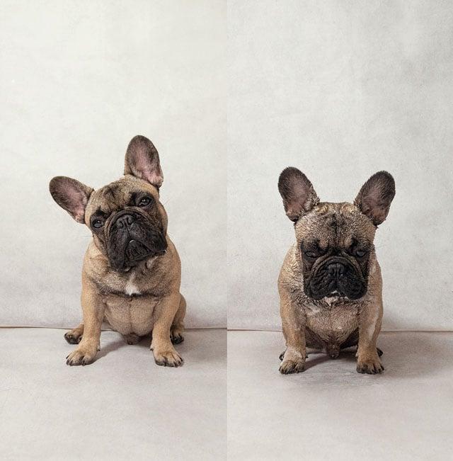 Garfunkel_French Bulldog