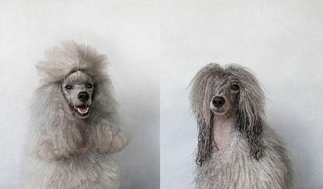 Miss Mei Li_Mini Poodle