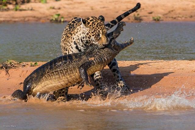 Photographer Captures Jaguar Attacking a Caiman