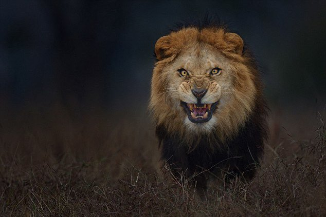 This Photo of an Angry Lion Was Shot Just Moments Before It Charged