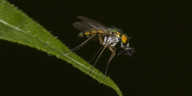 Long-Legged-Fly1-750x375