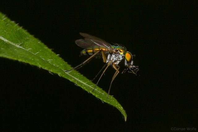 Long-Legged-Fly1