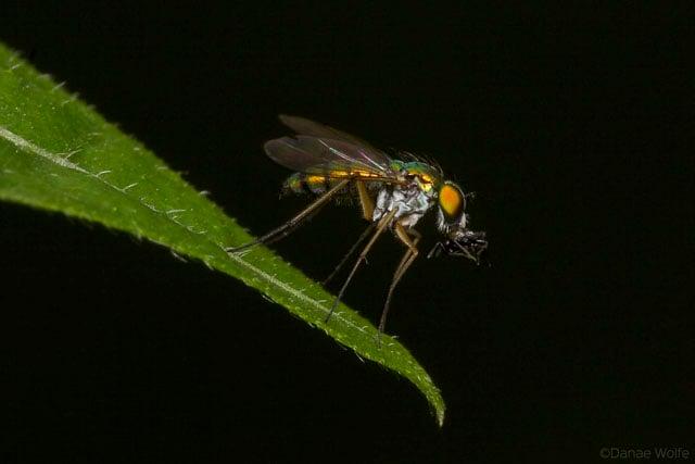 Long-Legged-Fly1
