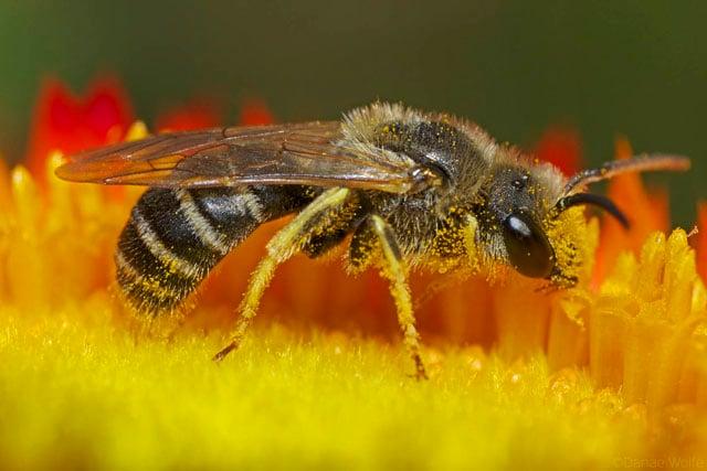 Sweat-Bee