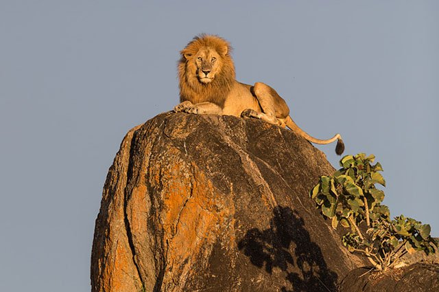 The Real Lion King: Photographing A Regal Male Lion In Uganda