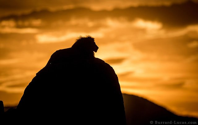 the real lion king  photographing a regal male lion in uganda