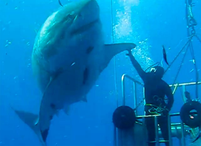 One of the Largest Great White Sharks Ever Caught on Camera
