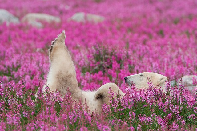 Photos of Polar Bears Frolicking in a Flowery Field