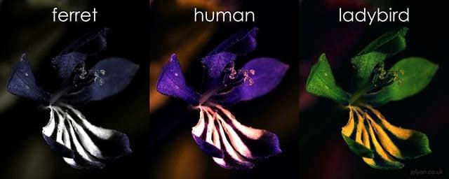 IrisComposite-ferret-human-ladybird