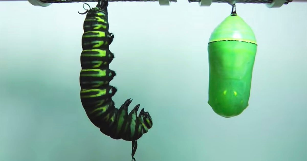Time Lapse The Metamorphosis Of A Caterpillar Into A