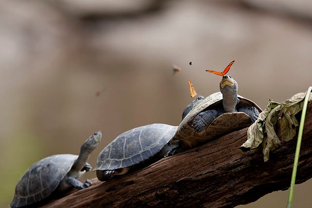 This Photo Shows Butterflies Drinking Turtle Tears