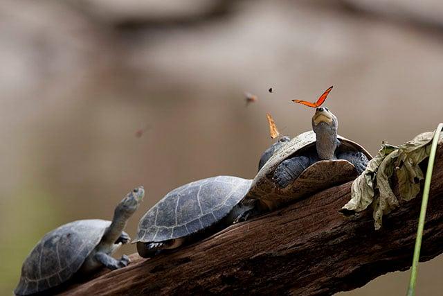 turtletear1
