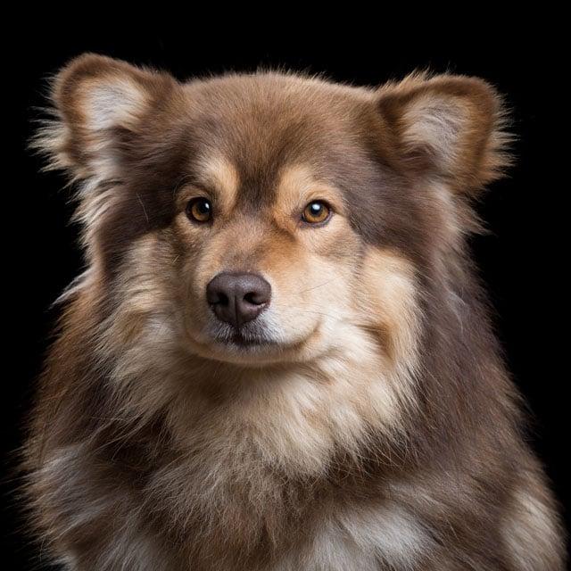 Ocho+[2M]+(Finnish+Lapphund)+315