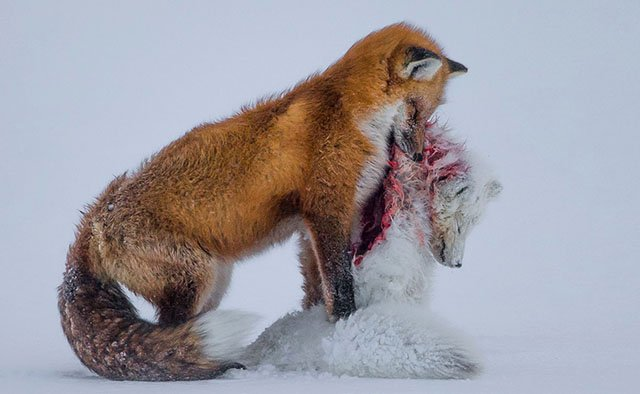 'A Tale of Two Foxes' Wins Wildlife Photographer of the Year 2015