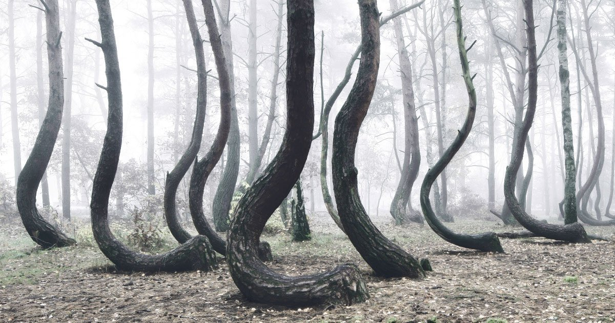 Photos of the Strange 'Crooked Forest' in Poland