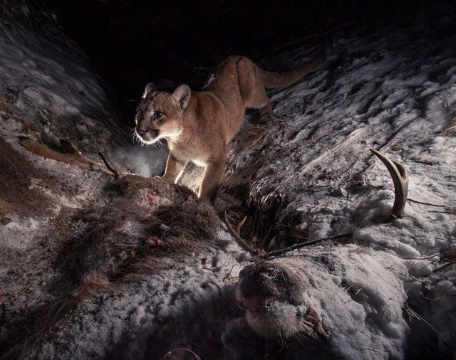 A cougar tears into a deer carcass on a frigid night.