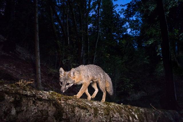 A gray fox under a full moon sky, Siskiyou Mountains, Oregon.