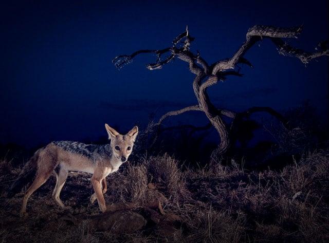 A black-backed jackal in Kenya.