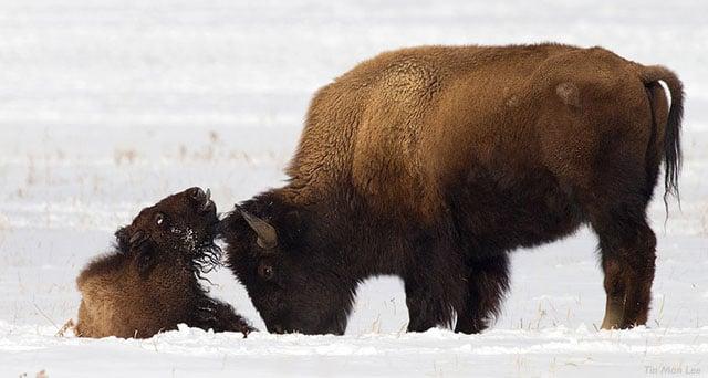 bisoncalf