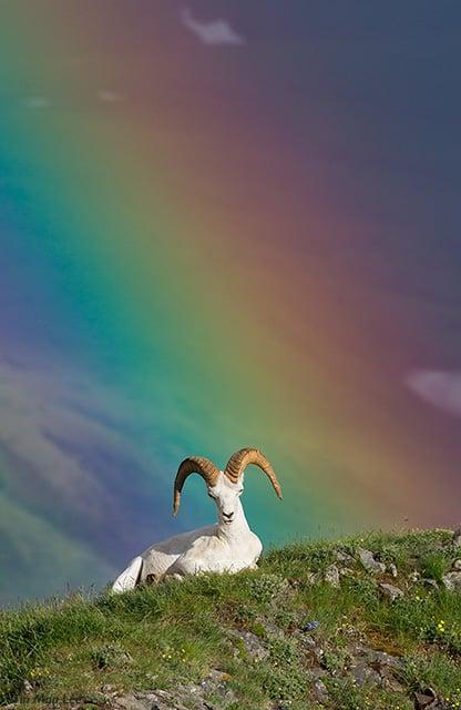 dallsheep_rainbow