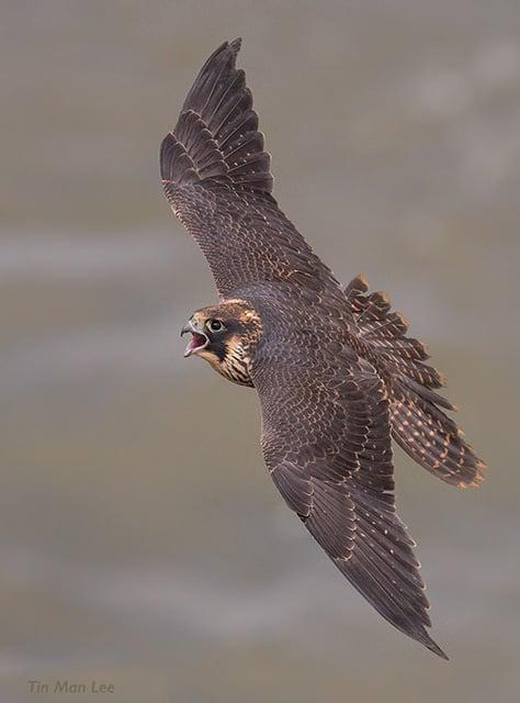 Peregrine Falcon soaring in Los Angeles
