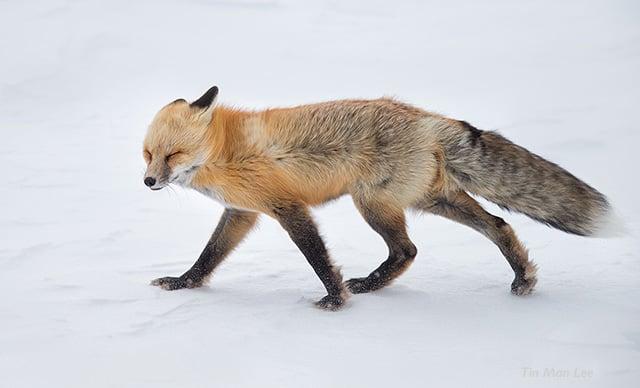 fox_wind2