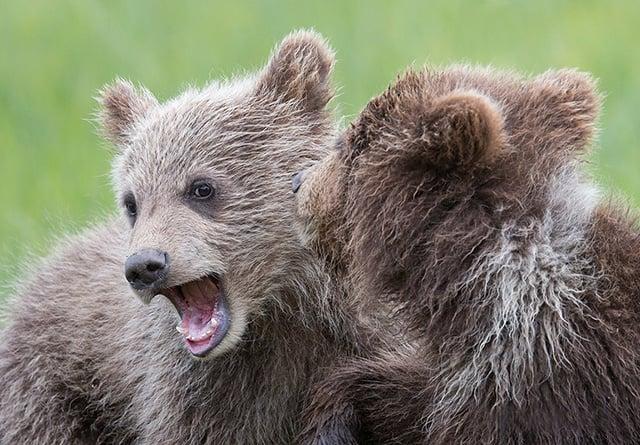 Brown bear spring cubs playing—Alaska.