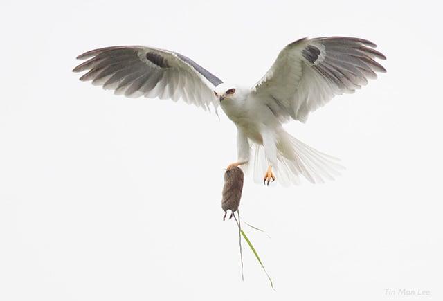 White-tailed kite in Thousand Oaks.