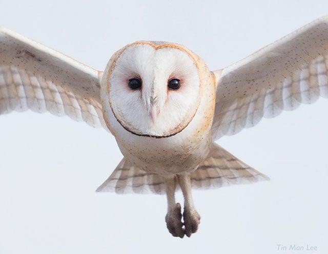 Wild barn owl, San Simeon. Not baited or lured with bird calls.