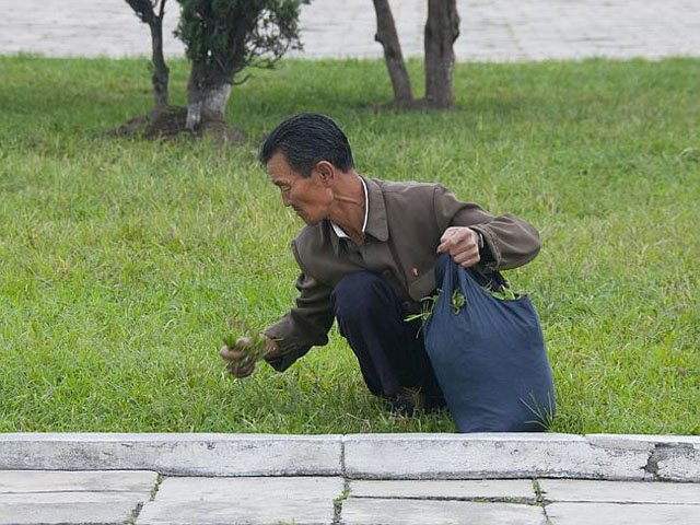 A North Korean man harvesting grass from a park -- presumably for food.