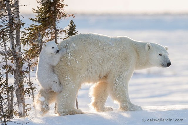 I Waited for 117 Hours in -50°C Temperatures to Snap These Polar Bear Photos