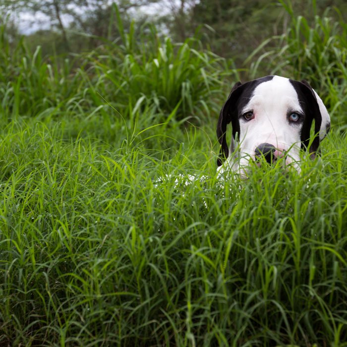 """""""Apollo hiding in the tall grass like a lion waiting for his prey... only slower, whiter , clumsier, cuter and lovable..."""""""