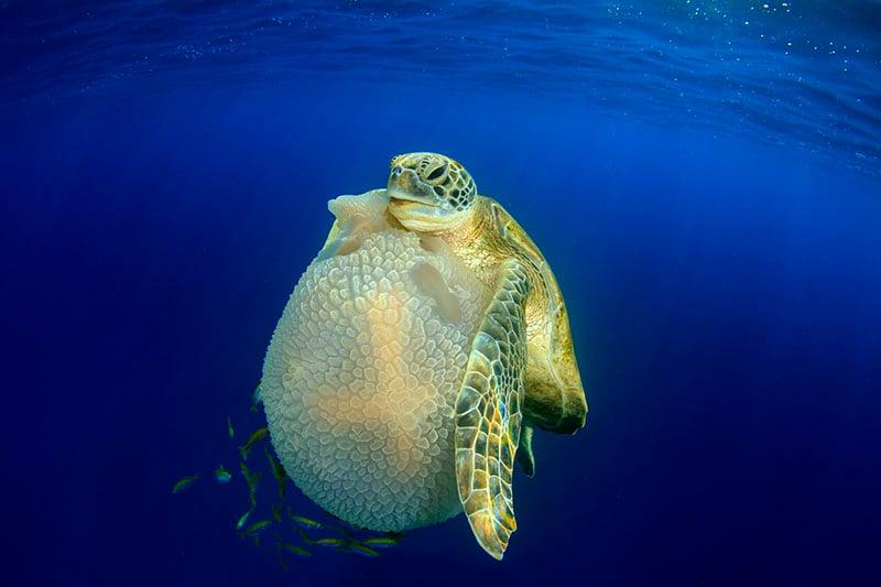 """Turtle Eating Jellyfish."" Richard Carey/UPY 2016"