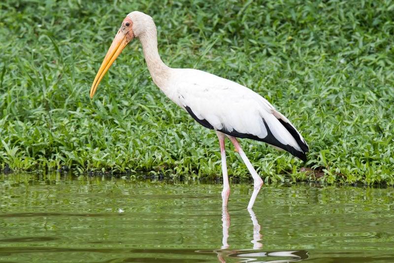 A milky stork, shot wild around the Seletar reservoir
