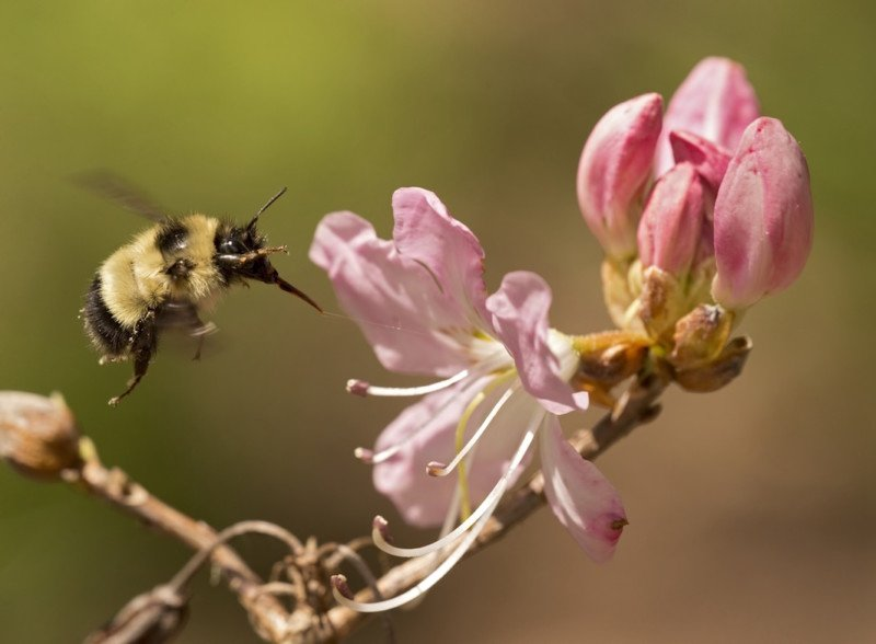 Bombus sandersoni, Sanderson's Bumble Bee, visiting Azalea, Highlands, North Carolina