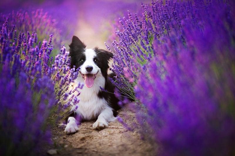 Purple Aesthetic Wallpaper Lavender