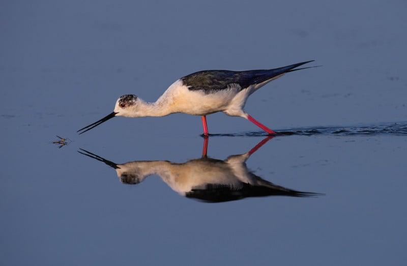 Credit: Black-winged Stilt. Artur Stankiewicz/Audubon Photography Awards