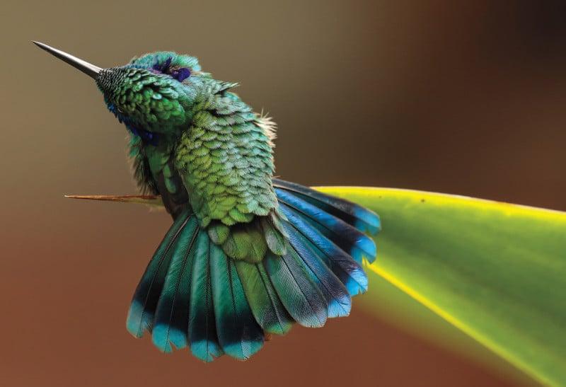 Credit: Green Violetear. Barbara Driscoll/Audubon Photography Awards