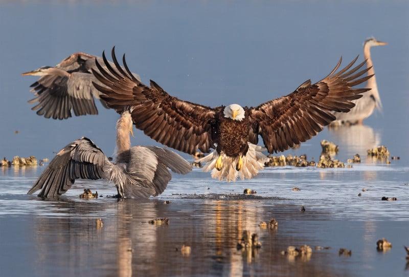 Credit: Bald Eagle, Great Blue Heron. Bonnie Block/Audubon Photography Awards