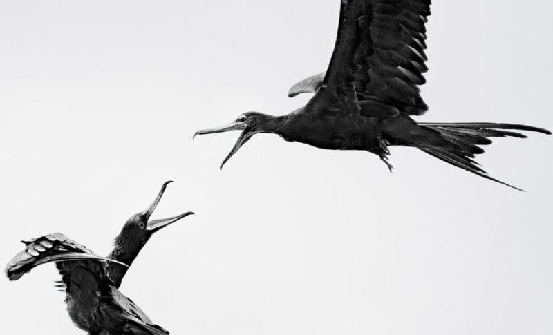 Credit: Great Frigatebird. Carolina Anne Fraser/Audubon Photography Awards